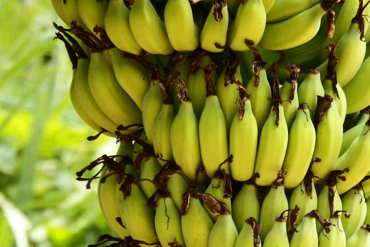 Banana varieties in India